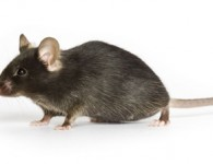 C57BL/6J, Stock Number 000664, black laboratory mouse. Tier 1, most popular strain. Spontaneous Mutation; Inbred.